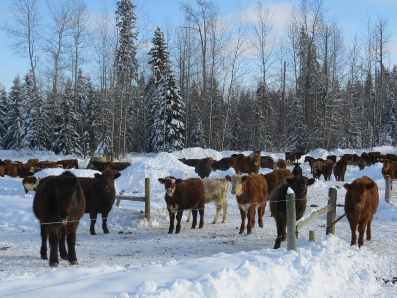 Yearlings and Heifers with the Icelandics