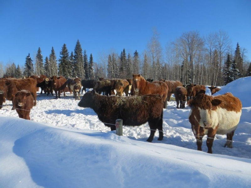 Cows in February