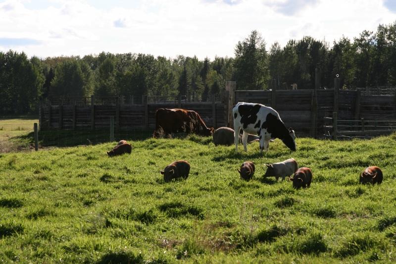 Holstein Summer Guest.