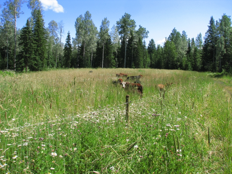 Cows and Calves enjoy a new pasture.