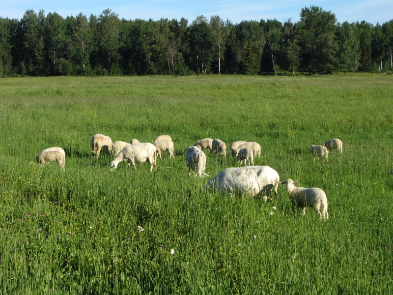 Sheep enjoy the sun & summer gras.