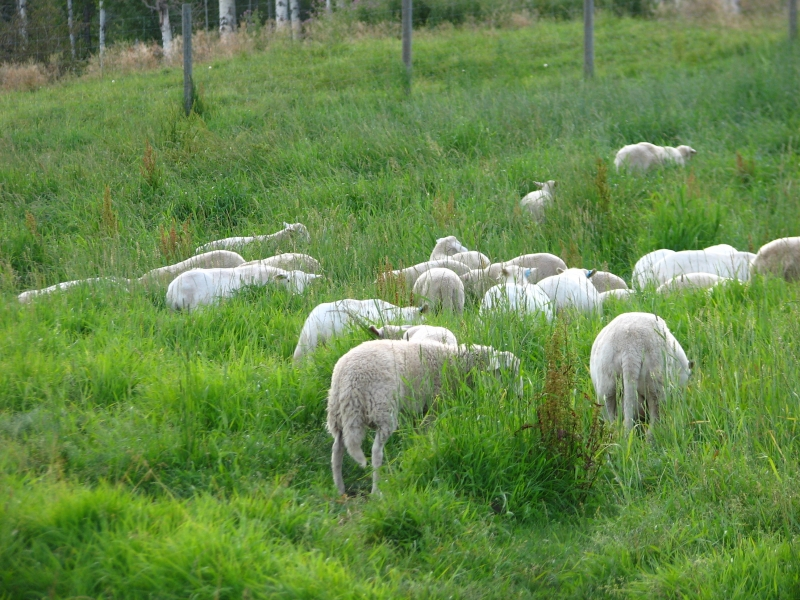 Grazing sheep.